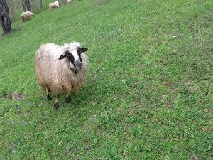 Ovce ovca ovcu