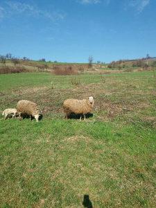 Ovce romanovske sa bijelim glavama jedna ima  dvoje zen