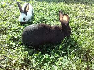 Zečevi-kunići, crna mlada zečica njemački šarac