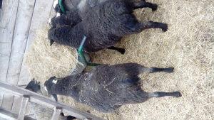 romanovski ovnici