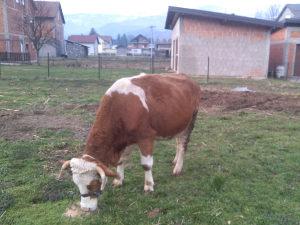 rasna krava simental pred oteljaj