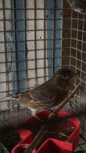 Bastard ptica hanefla kanarinka hanifla