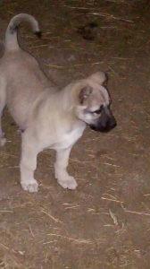 Turski kangal muško štene