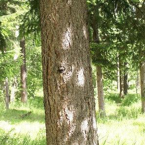 Jasen Drvo