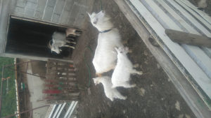 Koza i dvoje jaradi
