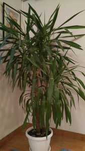 Drvo života - juka