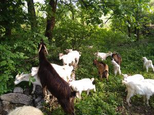 Koze aplska-sanska