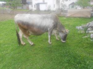 dvije krave