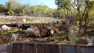 Koze i kozlici
