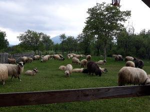 Ovce i janjce