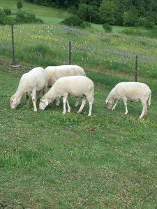 Vitenberg ovce