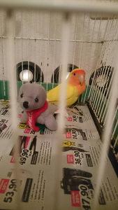 Papagaj rozenkolis