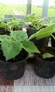 Paulovnija - sadnice za maj - juni ShanTong