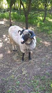 Travnicka pramenka ovce