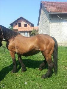 Konj.kobila
