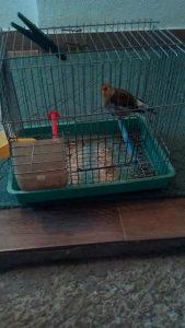 Bastard ptica