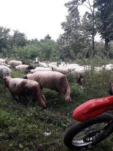 Ovce kurbani priplod (cjelo stado)