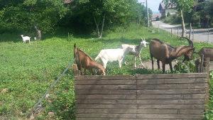 Koze i jarići