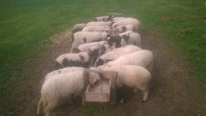Prodaje ovce i janjce