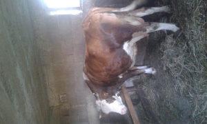 Jalova krava