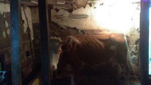 Karava za kurbana muze se jos ima 9 litara mljeka