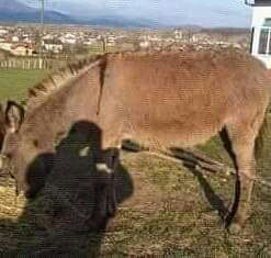 Muski magarac