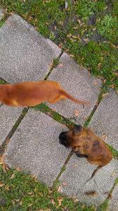 Boxer,  štenci