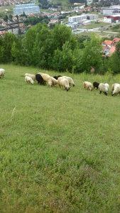 Ovce i jagnjadi