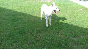 Bijeli svajcerski ovcar