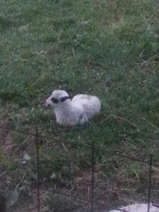 Prodajem ovcu I janje
