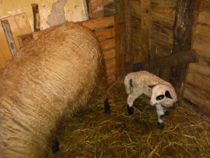 Prodajem ovce i jaganjad