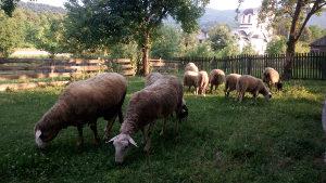 ovce sjajne-5 komada