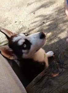 Sibirski Haski (štene)