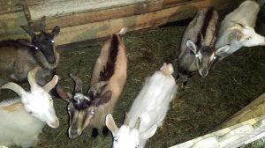 Jarad koze