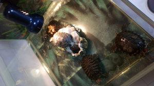 Kucni ljubimci kornjace