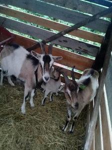 Koze 2 i 1 jare