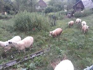 Mlada jagnjad, janjad i ovce