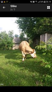 Prodajem kravu