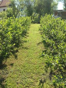 petogodišnje sadnice borovnica, aronija, ribizla