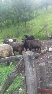 prodajem ovce zdrave