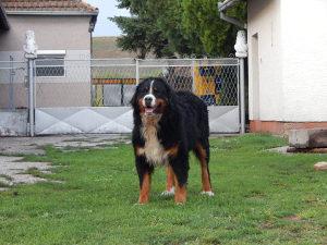 Muzijak bernskog planinskog psa spreman za parenje
