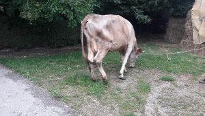 Krava mlada