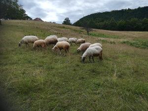 Životinje ovce