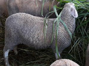 Jagnje za klanje