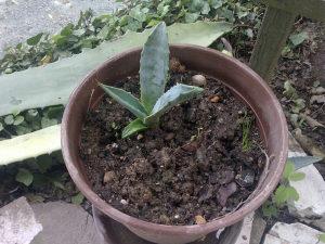 Cvijet Aloe Vera