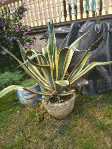 agava agave cvijet... kaktus... od malih do ogromnih