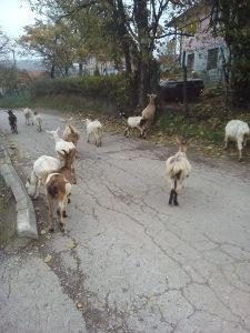 Prodaja koza i jaradi