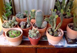 Kaktus Kaktusi 12 komada
