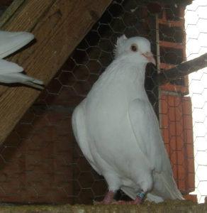 Srpski visokoletaci golubovi