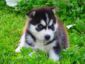 Žensko Štene Sibirski Haski